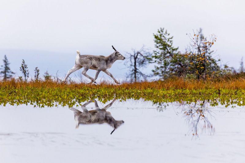 Mazā ziemeļbrieža Ailo lielais ceļojums